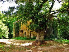 Carballo e casa en Loimil - (A Estrada) Trunks, Plants, Houses, Drift Wood, Planters, Plant, Planting
