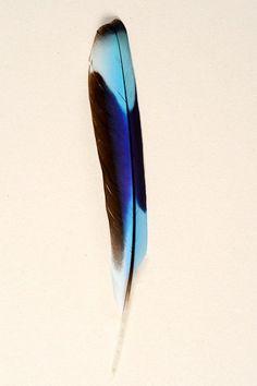 Rollier Indien - 12-16 cm - bleu turquoise naturel - Plumes.fr