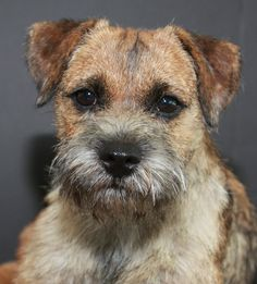 Border Terrier....please please please can we get him?? he's little.....oh ps. his name is Russel