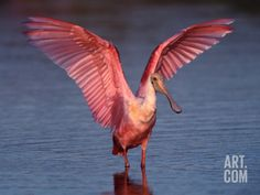 Roseate Spoonbill with Wings Spread Photographic Print by Charles Sleicher at Art.com