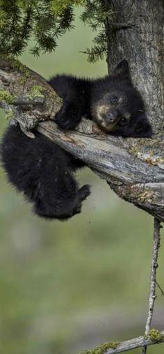 Black Bear, Painting, Animals, Woodland Forest, Animales, American Black Bear, Animaux, Painting Art, Paintings