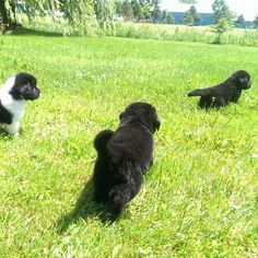 Explore... Newfoundland Dog Puppies