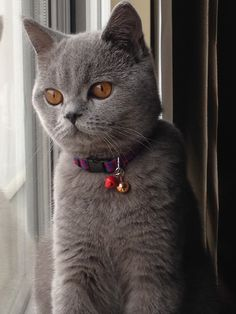British Shorthair  JJ