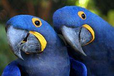 Brazilian Bird - It`s rare bird..  Blue Arara  http://aamazoniaenossa.blogspot.com.br/2011/12/arara-azul-as-araras-azuis-sao-animais.html