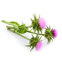 Milk thistle extract is commonly taken to maintain liver functions. Additional uses of milk thistle extract include support for the digestive system, maintenance of healthy cholesterol levels and management of menopausal symptoms.