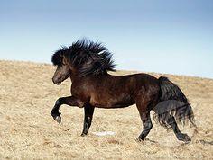 Love Love Love Icelandic ponies!