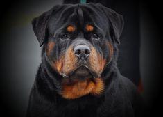 Caring for Your Senior Dog Rottweiler Breeders, German Rottweiler, Rottweiler Love, Big Dogs, Cute Dogs, Pitbull, Real Dog, Dog Photography, Dog Portraits