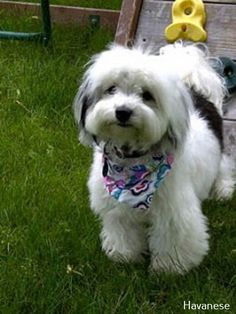 All the things we all love about the Funny Havanese Pup Havanese Haircuts, Havanese Grooming, Dog Haircuts, Havanese Puppies, Cute Puppies, Dogs And Puppies, Dog Grooming, Maltipoo, Little Dogs