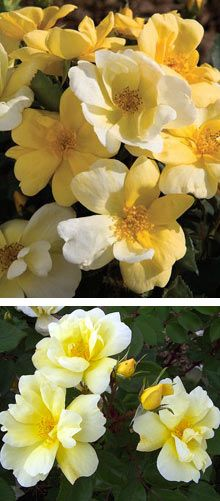 Sunny Knockout Rose bush. http://www.fast-growing-trees.com/Sunny-Knockout-Roses.htm