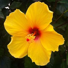Hibiscus, I have this variety...its amazing!