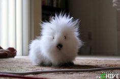 guinea pig?