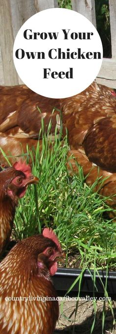 Growing fodder and sprouting grains is a great way to reduce the feed bill! Grow some for your chickens for winter!