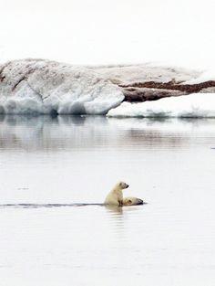 Polar Bear Crossing - Mama and baby