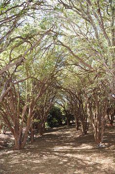 Alameda de jaboticabeiras na fazenda de Ribeirão Preto.