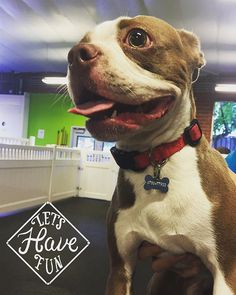 Meet our new member Gus he's ready to have some fun with his new friends! #fitdog #happydog #bostonterrier #beautiful #dogtongue #playdog #santamonica #pets