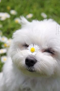 - Dogs - Maltese dogs are the sweetest, best dogs there are. Hypoallergenic and great cud. Maltese dogs are the sweetest, best dogs there are. Hypoallergenic and great cuddlers! Animals And Pets, Baby Animals, Funny Animals, Cute Animals, Cute Puppies, Cute Dogs, Dogs And Puppies, Doggies, Maltese Dogs