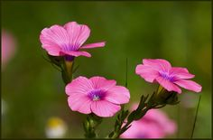 The Hairy Pink Flax 1