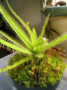 carnivorous plants | Carnivorous Plants / Stunted Leaves on Drosera Regia
