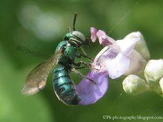 (69) Arab Pest Control - Google+ Cuckoo #Wasp Metallic Blue pk-photography.blogspot.com