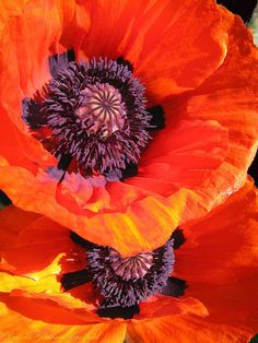 Poppy By Brooks Garten Hauschild