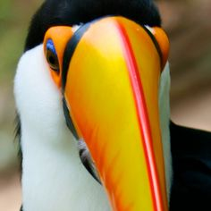 Toucan.. up close and personal :-)  - (CC) Doug Wheller - www.flickr.com/photos/doug88888/4644848067/