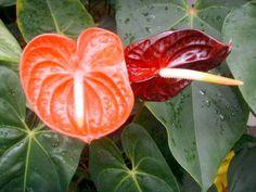 El anturio o Anthurium andreanum, es una planta perenne, herbácea o leñosa de la familia araceae. Tiene hojas gruesas y consistentes, avaladas y grandes. Las flores tienen una hoja o espata en la q…
