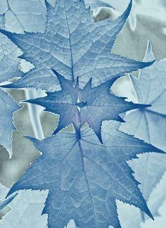Powder blue leaves ::::: ❥