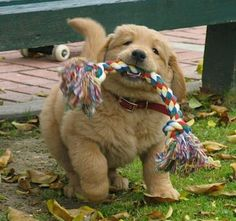Possibly the fluffiest little puppy ever with his favourite toy!