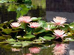 Lily Pads in the Koi pond