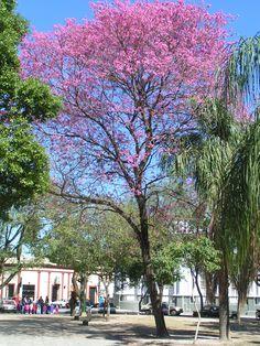 Tabebuia avellanedae, Lapacho rosado