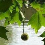 het verschil tussen esdoorn en plataan oftewel, acer platanoides en Platanus acerifolia :-)