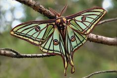 Vintage Luna Moths | luna moth necklace here is a beautiful and unique spanish luna moth ...