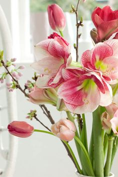 Award-winning Amaryllis 'Apple Blossom' (Hippeastrum), an old-time favorite, is a real knockout with its large, white flowers delicately brushed with soft pink.