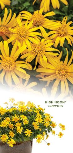 Looking for a summer flower that can take the heat? Enter 'High Noon' Bush Daisy. Its bright yellow flowers are very heat tolerant and drought tolerant once established. It blooms continuously all summer long with no need to deadhead. Enjoy its sunny color from planting through frost in both the landscape or container planters. Plant in a sunny spot and watch it grow! Summer Flowers, Colorful Flowers, Yellow Plants, Border Plants, Yellow Daisies, High Noon, Drought Tolerant Plants, Flowering Shrubs