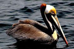 Pelican, male, California coast.