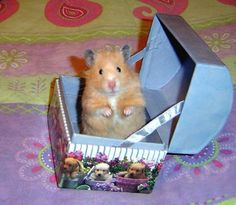 teddy bear hamster - Google Search