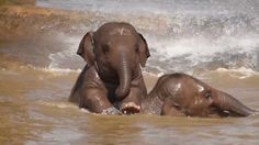 An elephant never forgets to have fun! Baby elephants pictured splashing around together at Chester Zoo.
