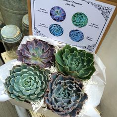 "Succulent Treasures 4"" Ruffled Beauty Box. Assorted Premium Echeveria succulent gift box. by SucculentTreasures on Etsy https://www.etsy.com/listing/226335922/succulent-treasures-4-ruffled-beauty-box"