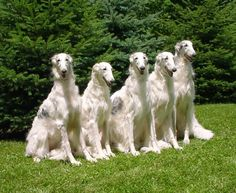 The borzoi is a breed of domestic dog also called the Russian wolfhound and descended from dogs brought to Russia from central Asian countries. Russian Dog Breeds, Russian Dogs, Dumb Dogs, Big Dogs, Dogs And Puppies, Doggies, Magyar Agar, Borzoi Dog, Whippets