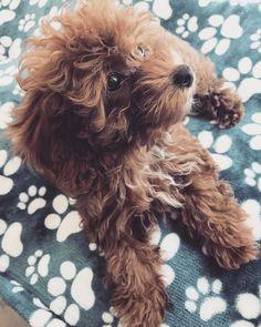 La Petite Poodles