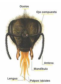 APARATO VISUAL DE LAS ABEJAS - VISUAL BEE APPARATUS.