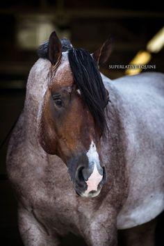 VS Flatline, World Champion Quarter Horse stallion  Photo by Superlative Equine