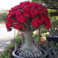 Adenium Plantas Bonsai, Beautiful Flowers Pictures, Amazing Flowers, Exotic Plants, Exotic Flowers, Bonsai Garden, Garden Plants, Planting Succulents, Planting Flowers
