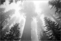 Redwoods- almost every summer......fog pictures | black and white: fog