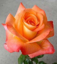 Single orange rose