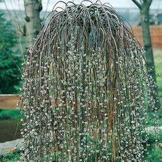 Salix caprea Kilmarnock 3l - Kilmarnock Willow - Dobbies Garden Centres