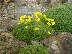 Draba bryoides