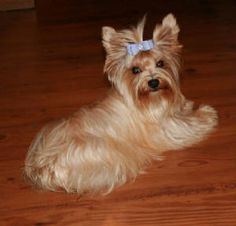 "golden yorkie | This all gold AKC Yorkie girl is out of our ""Lola"" & our all Gold stud ..."