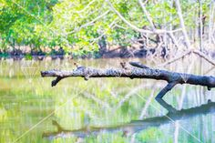 Branch over water in the mangroves