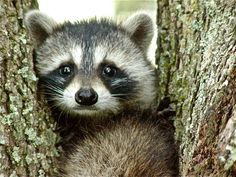 Young Raccoon Penny for Your Thoughts by OutsideInn on Etsy